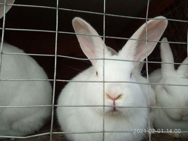 Кролики кролі кроли