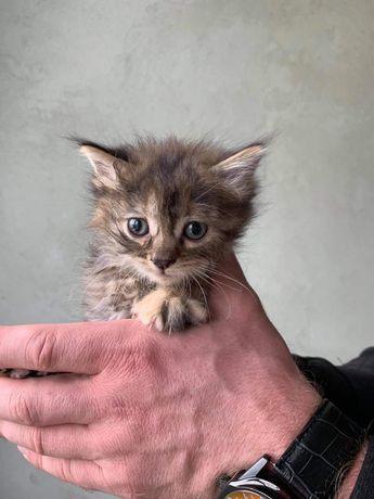 Котенок 1 мес девочка