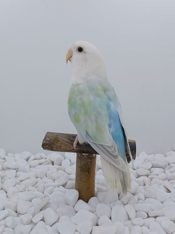 Papugi nierozłączki czerwonoczelne
