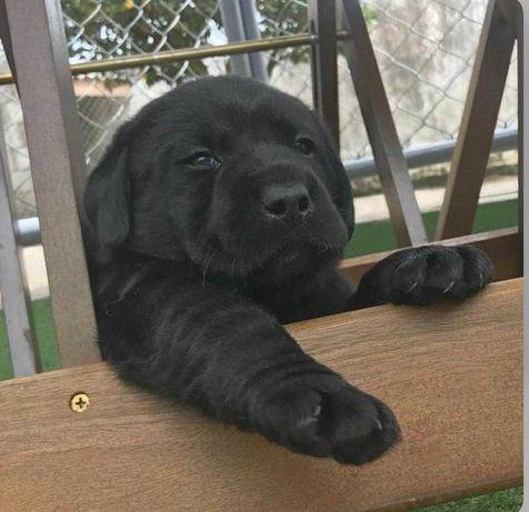 Labrador bebé preto