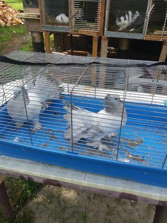 Gołębie ozdobne pawiki indyjskie