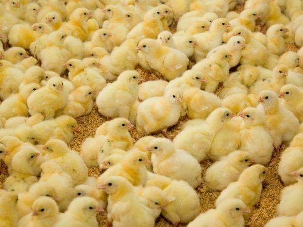 Продажа суточного цыпленка