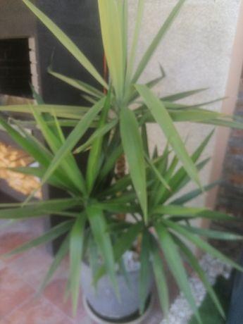 Vendo Planta yuca