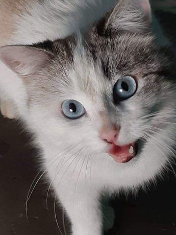Отдам тайскую голубоглазую кошку ,стерилизована ,2 года