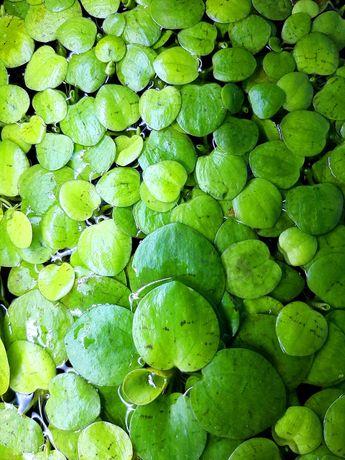 Limnobium gąbczaste roślina akwariowa