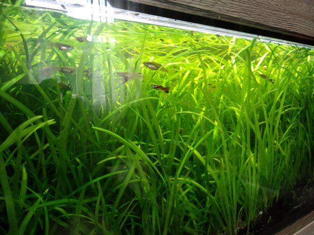 Roślinki akwariowe Nurzaniec