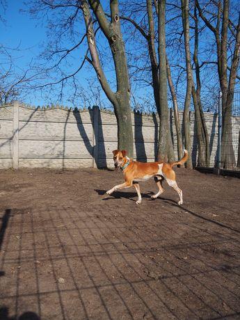 Rufus młody rudy biały pies szuka domu! Samiec schronisko Kalisz