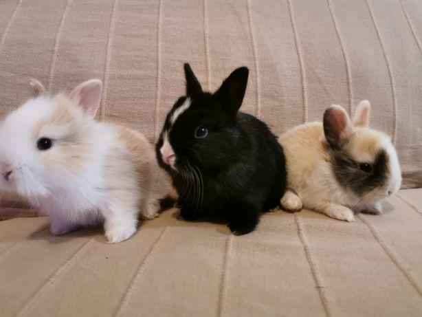 KIT completo coelhos anões mini holandês e minitoy super fofos