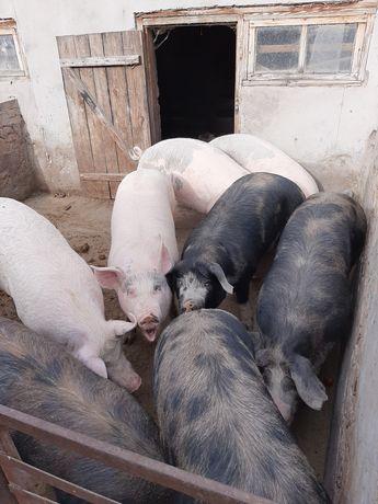 Продам свиней(:)