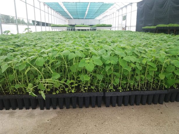 Paulownia, clone in vitro, para produção de Madeira Nobre e Biomassa