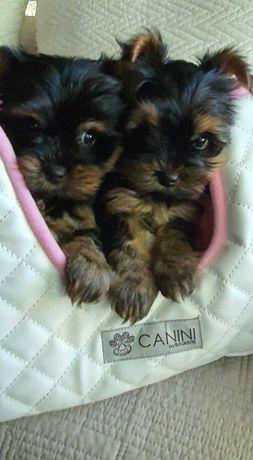 Piękne Mini mini Pieski z rodowodem, do 1,8kg.