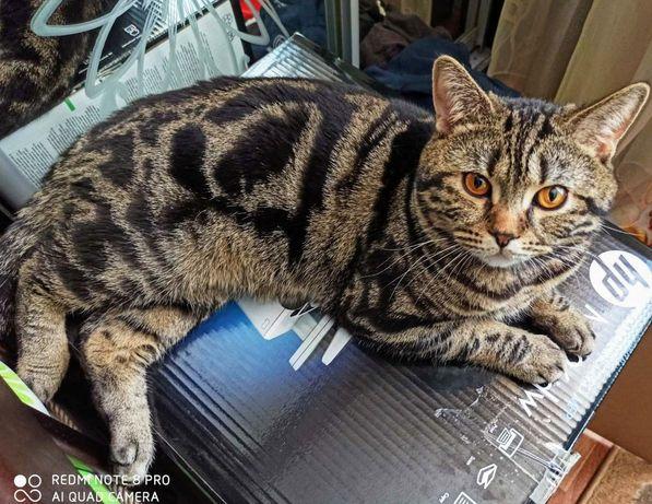 Кот на вязку. Скоттиш-страйт.
