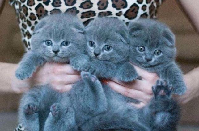 Вислоухие с документами котята, ждут родителей!