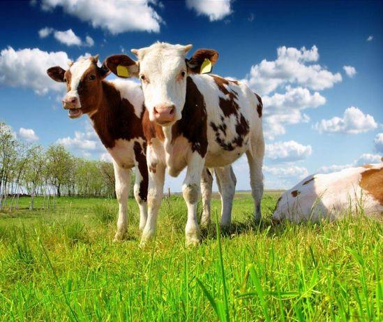 Сухое молоко Лактивит для телят,поросят,сыворотка сухая