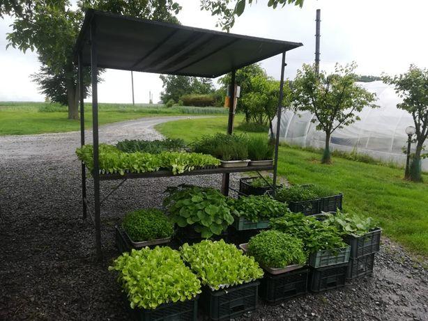 Rozsady, sadzonki warzyw od