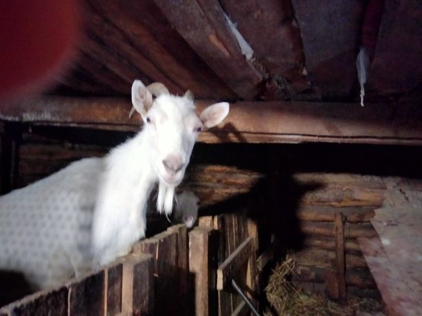 Продам козу обычную