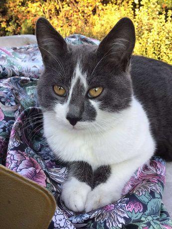 Метис русская голубая, котик, 6 мес.