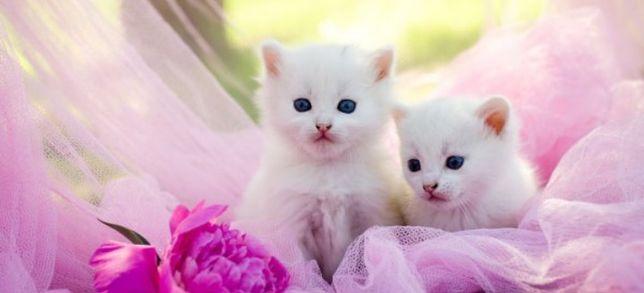 Gatinhos brancos bebés para adoção