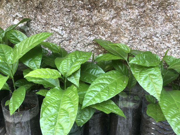 Maracujá planta