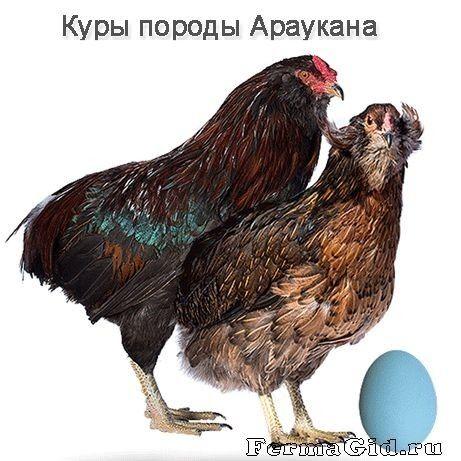 Араукана курица и петух