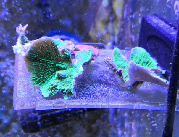 Montipora talerzowa akwarium morskie RED lub GREEN