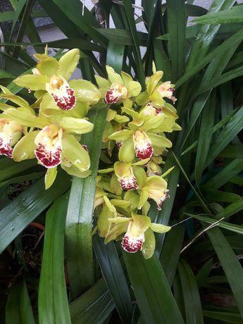 Orquídeas   vaso