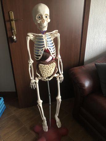 Szkielet kostek ciało człowieka gazetki