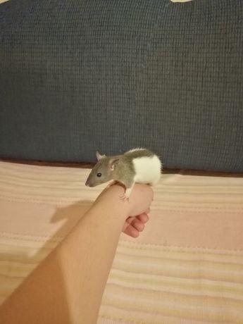 Szczurki domowe szczur