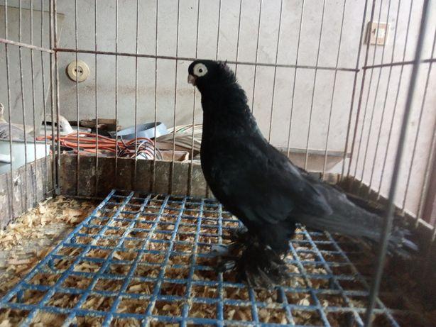 Sprzedam, wywrotek białostocki czarny samczyk 018r. Gołębie ozdobne.