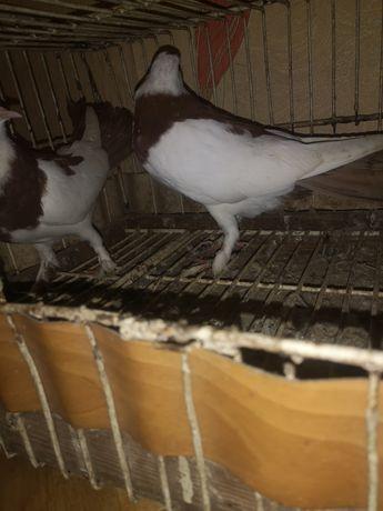 Gołębie ozdobne para