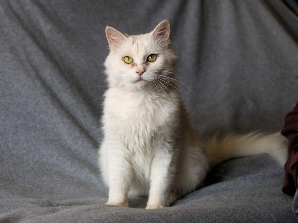 Умный нежный кот кастрирован