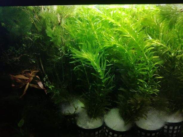 Kabomba w doniczce roślina do akwarium krewetkarium
