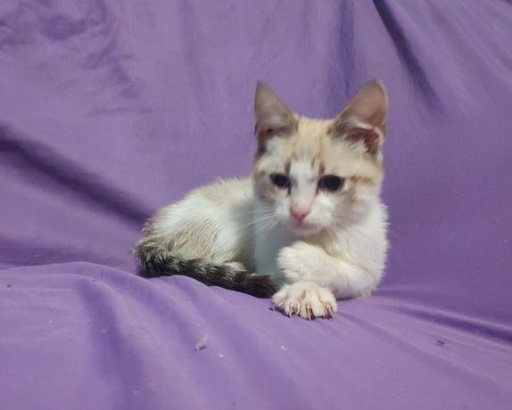 Балинезийские котята редких окрасов тебби-поинт и лайлак-поинт Балинез