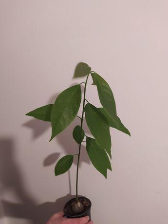 Awokado drzewko 60 cm