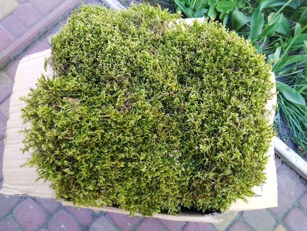 Лісовий мох ковровий