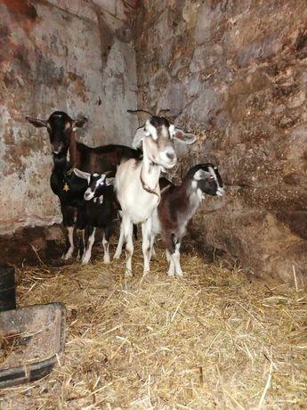 Casal de cabras com filhotes