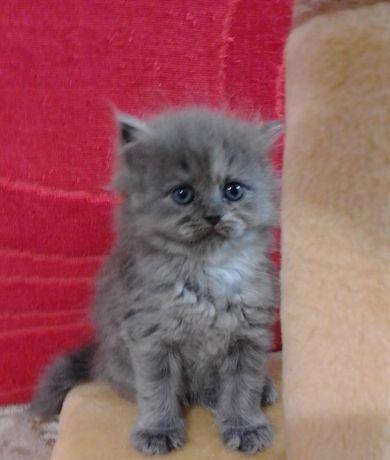 Продаю британскую кошечку.