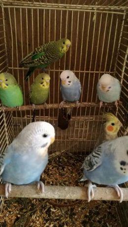 Papugi papuga falista samce samice