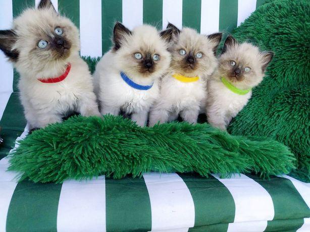 Ragdolle, koty Ragdolle, kocięta, Ragdoll