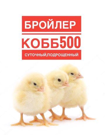 Курчата,цыплята бройлер кобб 500