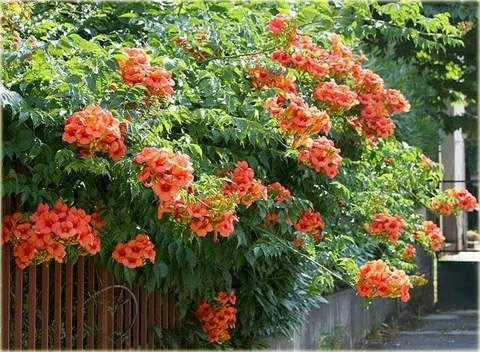 milin amerykański sadzonka dzwoneczki w Twoim ogrodzie