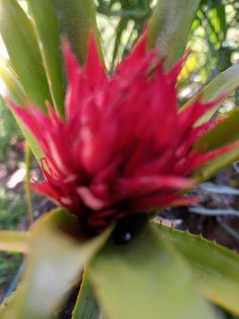 Catus  Agave  flor vermelha
