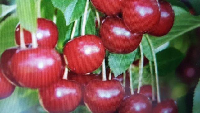 Drzewka owocowe, wiśnia