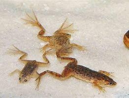 Karlik szponiasty - żabka akwariowa