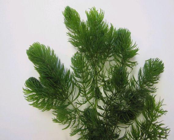 Rogatek Sztywny Ceratophyllum Demersum 5 gałązek