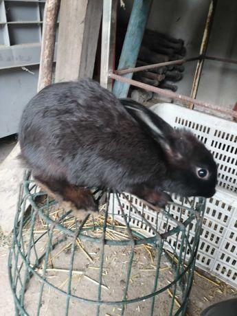 Sprzedam 7 młodych królików