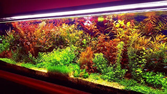 Limnophilia aromatica tanio piekna roslina akwariowa
