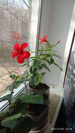 китайская роза -гибискус