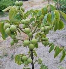 Саженцы крупноплодного грецкого ореха латерального плодоношения