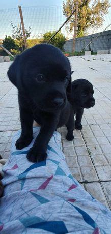 Labrador (f) Retrivier Puro